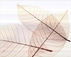Sheer Leaves III art print