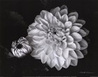Chrysanthemum by Harold Silverman art print