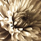 Sepia Bloom I by Steven Mitchell art print