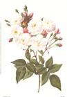 Rosa Noisettiana by Pierre-Joseph Redoute art print