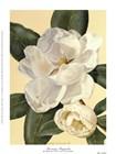 Morning Magnolia by Waltraud Fuchs Von Schwarzbek art print