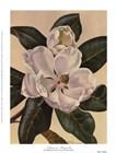 Afternoon Magnolia by Waltraud Fuchs Von Schwarzbek art print